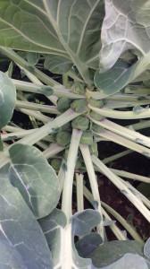 わき芽が発達する芽キャベツ