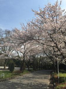 201603hanami-nagareyama01