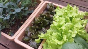 珍しいイタリア野菜の苗