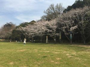 広場をぐるりと囲む桜